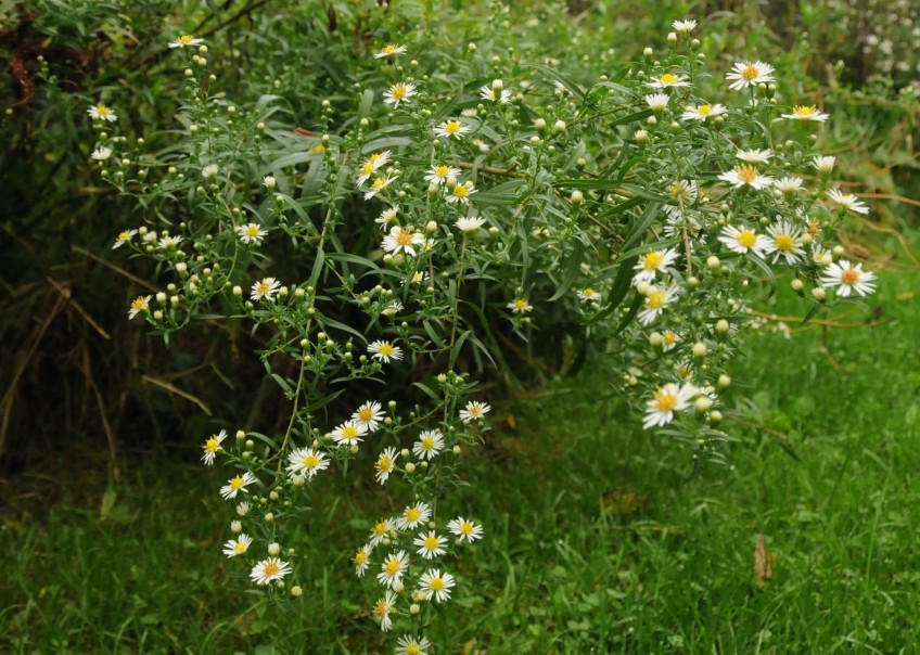 Meadow Asters 9.22
