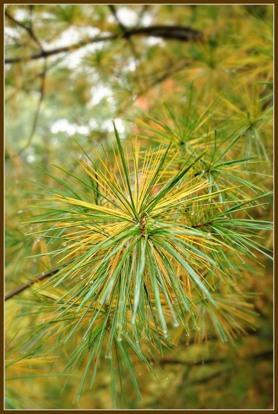 Fall Color Contest . White Pine