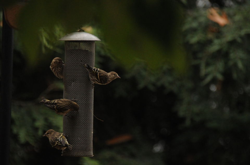 Invasion of the Pine Siskins