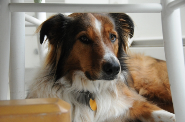 Luci, a three and a half year old English Shepherd, is ensconced beneath the kitchen table, which provides both cover from and views of household energy.