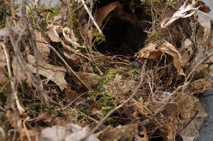 Carolina Wren Wannabe Nest