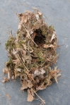 Carolina Wren nest1