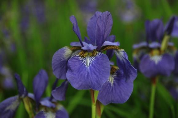 Summertime Blues (Iris kaempferi)