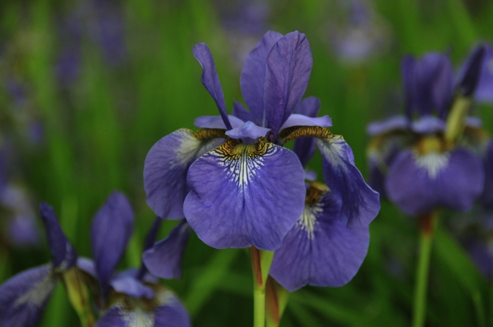 Summertime Blues (Iris kaempferi)