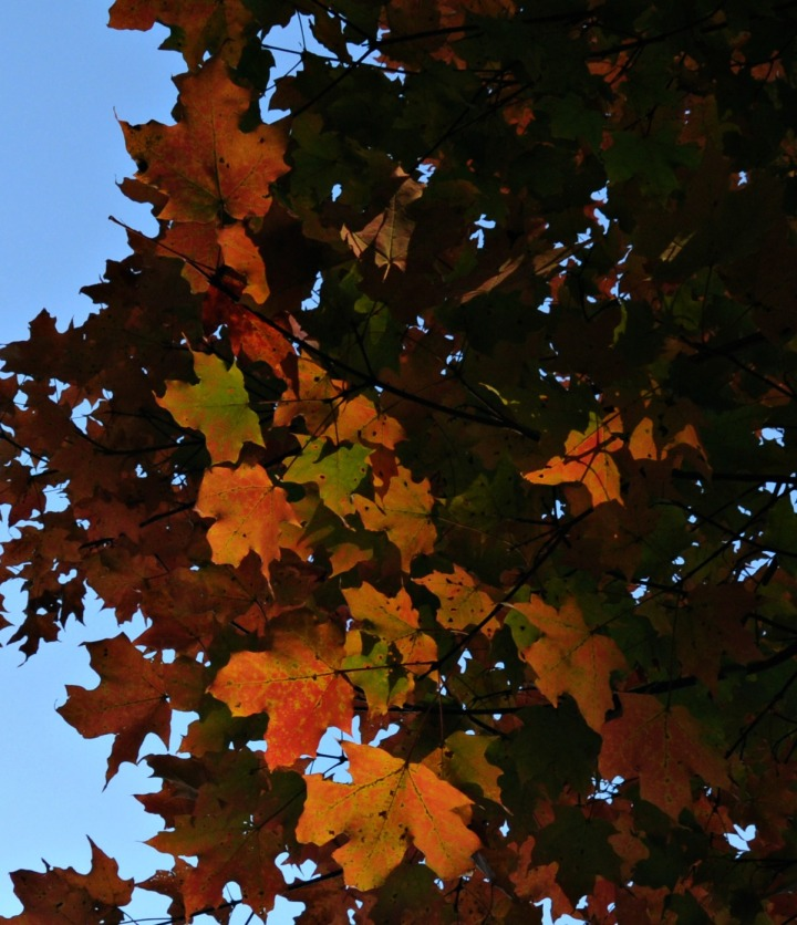 Sugar Maple, though stressed by a dry summer, nonetheless gifts us with dazzling fall color.