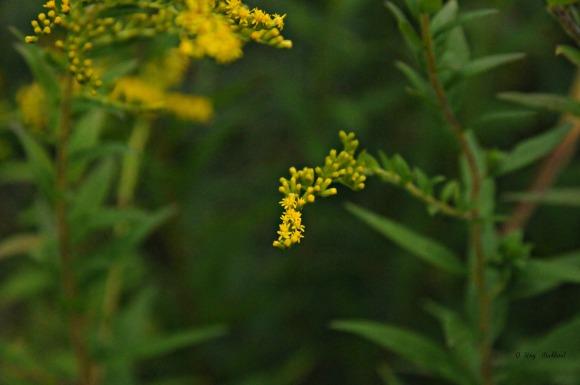 Goldenrod jungle