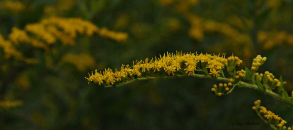Goldenrod September