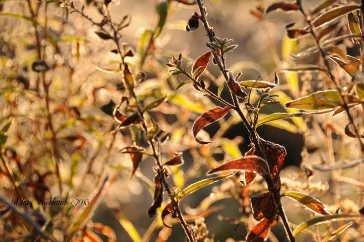 Goldenrod stalks salute the autumn sun.