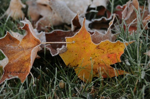 Sugar Maple Crystals, first frost 2013