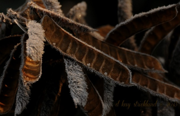 Frosted Lupine Seed Pods, Pennsylvania meadow