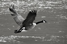 Canada Goose on Susquehanna
