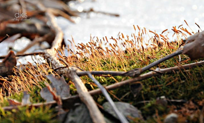 Moss scatters spores to spring winds.