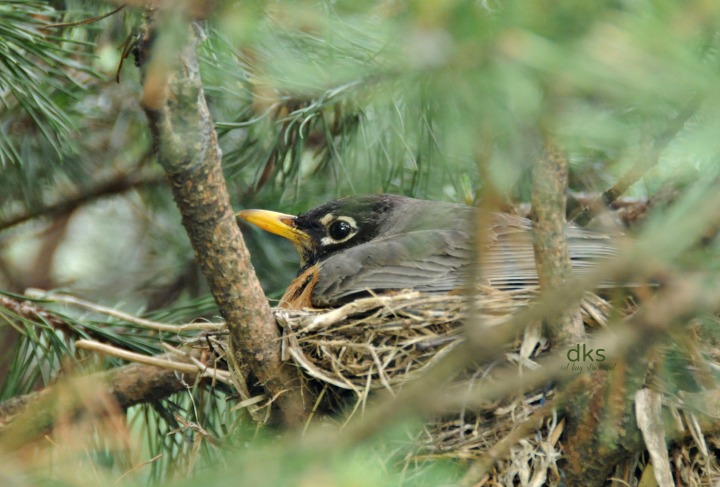 Project 52, May 24, 1014. American Robin on nest, clutch of four, young hatchlings, downy, blind.  No eggs observed.