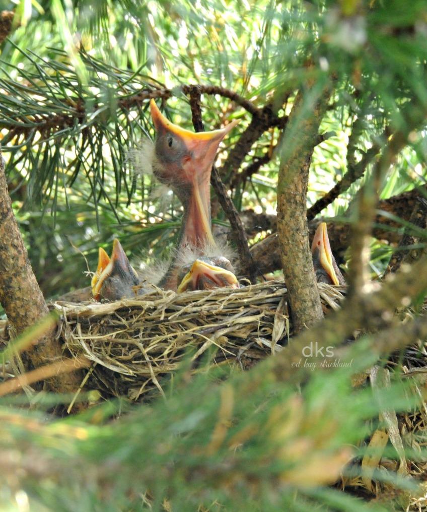Robin nestling