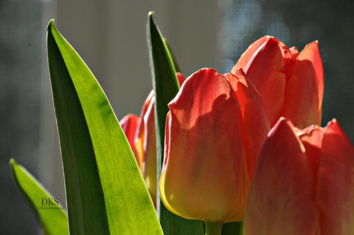 Tulip Study.2.EH