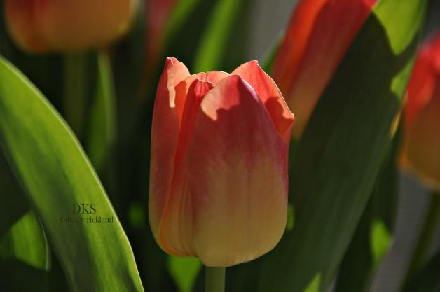 Tulip Study.3.EH