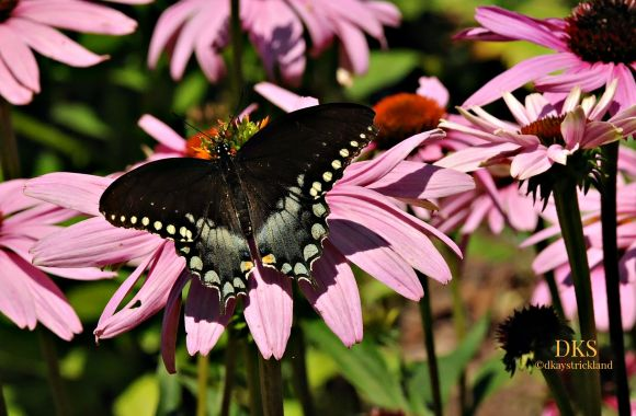 Fly-by on Cone Flower