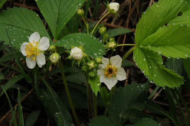 Wild Strawberry on Marsh Path edge. Fragaria Virginiana.