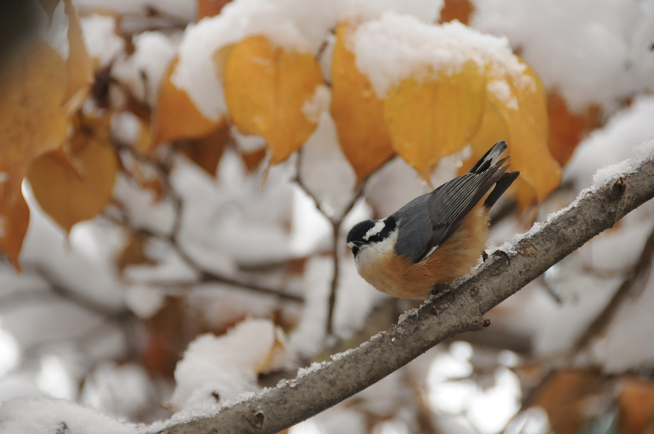 Red Breasted Nuthatch, first snow, 8