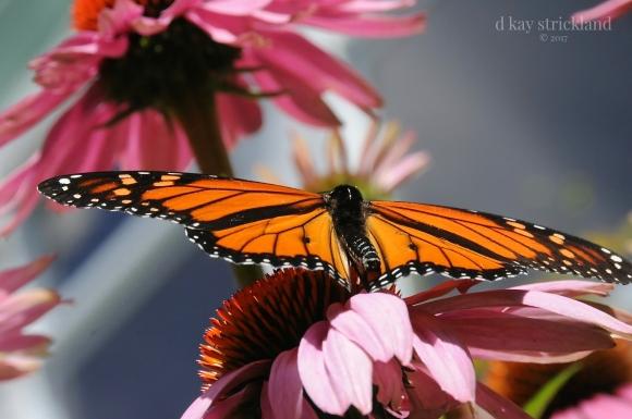 Male Monarch Butterfly.EH