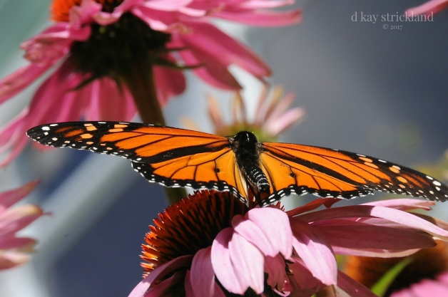 Male Monarch Butterfly.EH