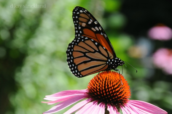 Male Monarch Butterfly.EH1