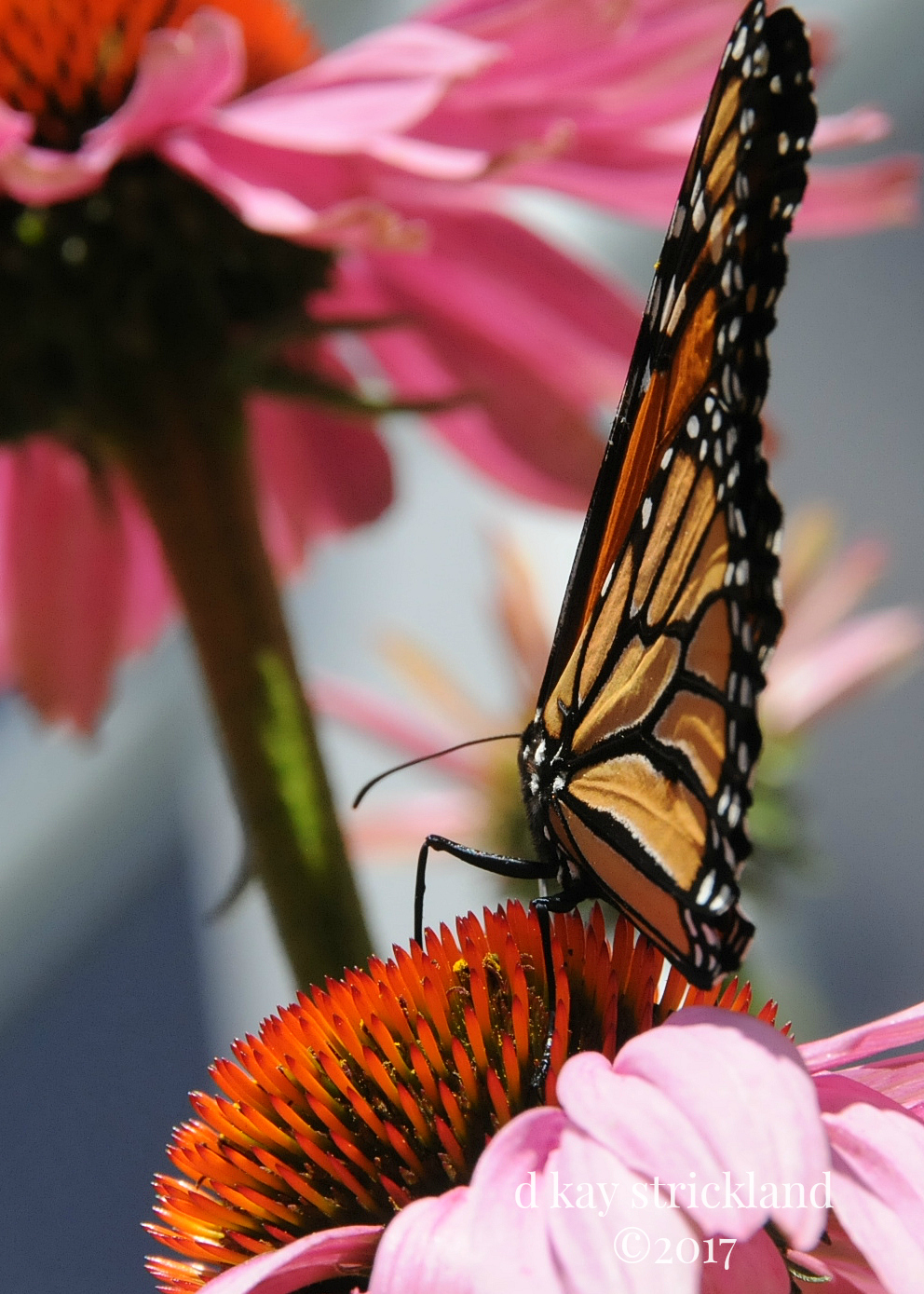 Male Monarch Butterfly.EH2